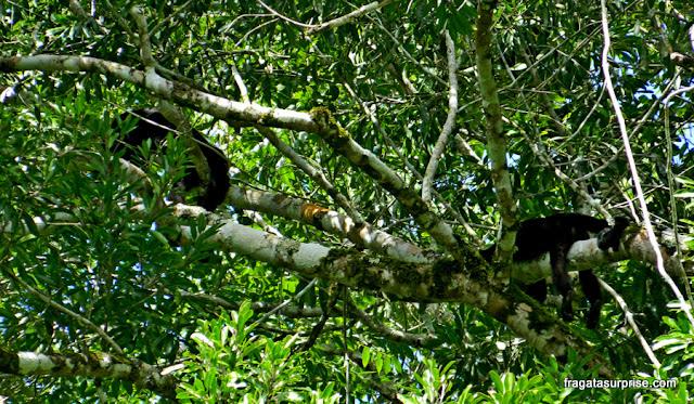 Macacos-prego no Sítio Arqueológico de Tikal, Guatemala
