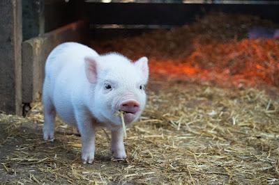 Minijaturne svinje mogu biti prenosilac Aujeckijeve bolesti