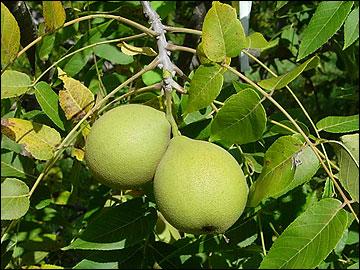 Missouri Beginning Farming: Black Walnuts: Pick Them and Clean Them