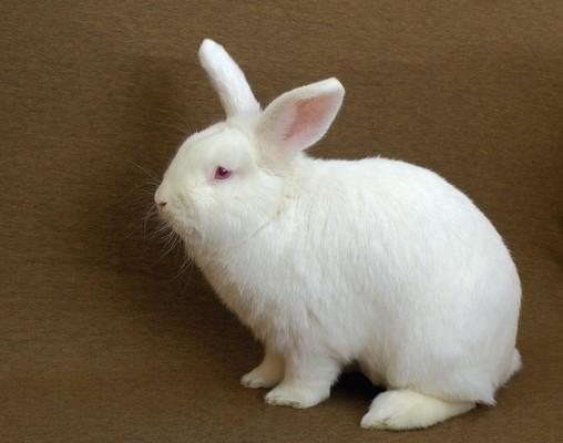 Tavşan Kaliforniyalı - üreme için en iyi seçenek