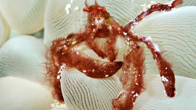 Kepiting Orangutan - Achaeus Japonicus