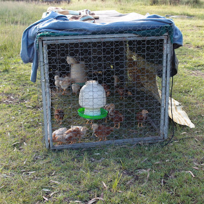 eight acres: raising baby chicks