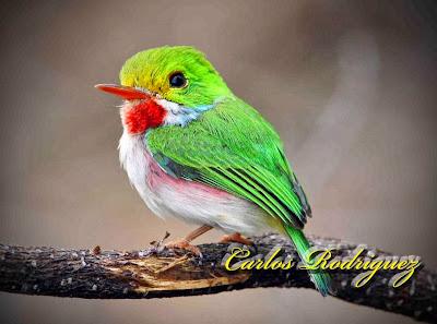 Barrancolí cubano Todus multicolor