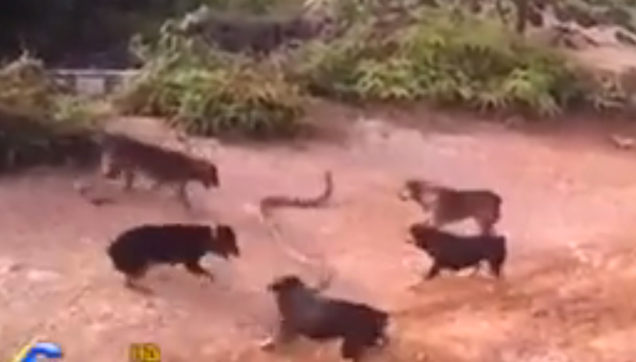 Five dogs versus a cobra