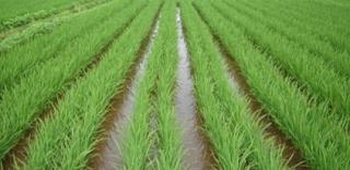 Planting Rice with System Jajar Legowo