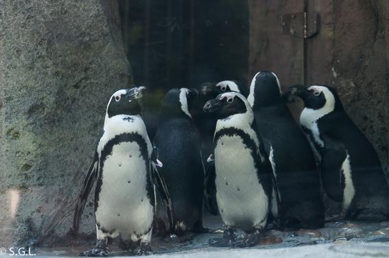 Pingüino africano en el acuario de Vancouver