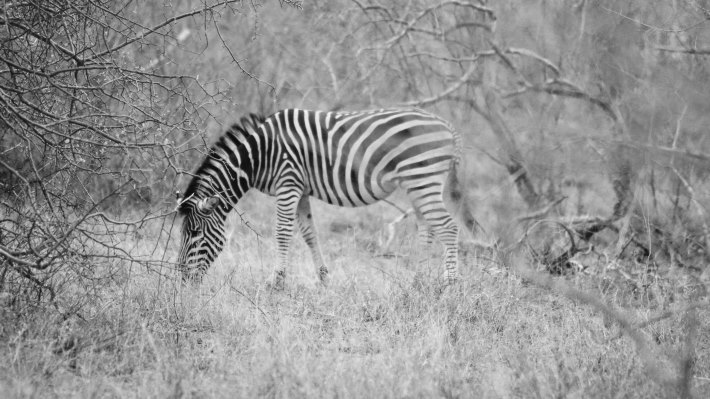 Wallpaper: Wild Zebra in African Safari