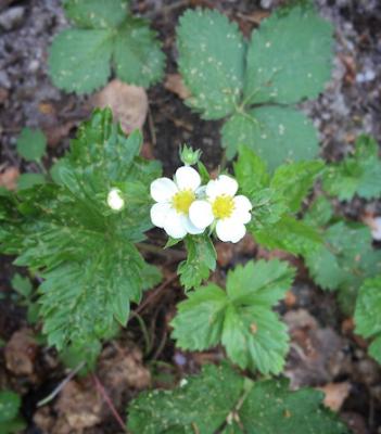 Metsämansikassa on samanlaiset valkoiset kukat kuin viljellyssä mansikassa