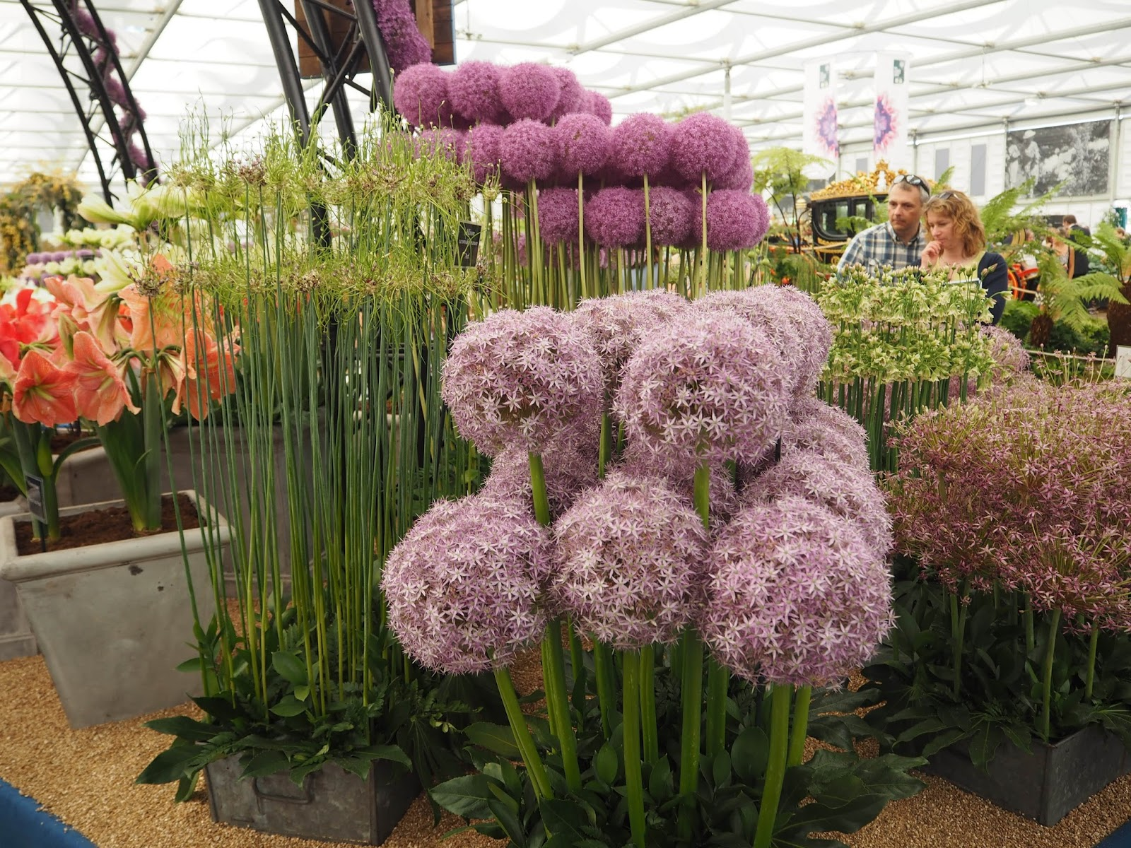 Floral Marquee, Chelsea Flower Show 2017, alliums