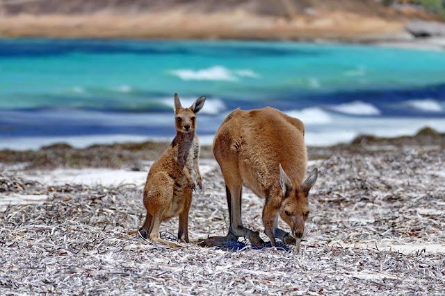 Känguruh, Joey, Strand, Lucky Bay, Esperance, Australien, Cape le Grand
