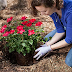 How to sow roses in the yard of your own