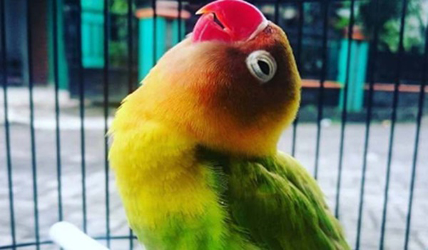 melatih burung lovebird