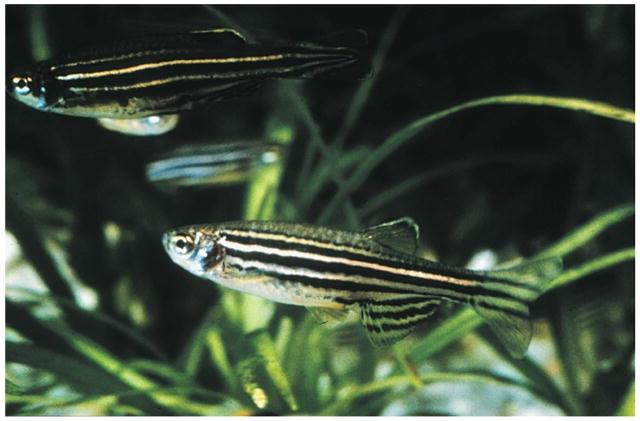 freshwater fish zebra fish danio rerio is a tropical freshwater fish