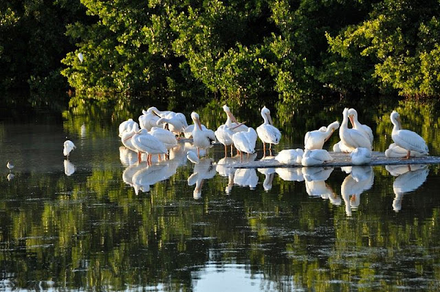 a group of pelicans at Sanibel Island