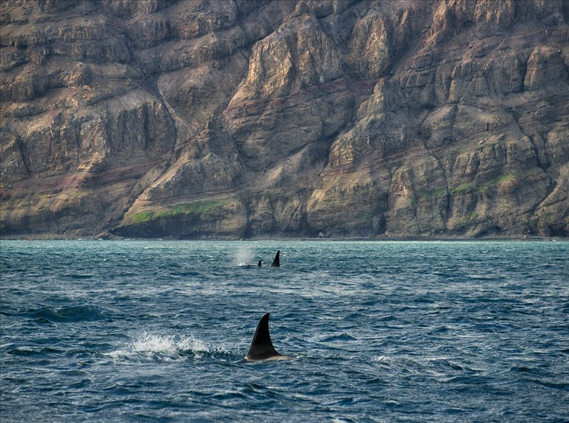 The nature in its original form killer whales against the backdrop of majestic volcanoes