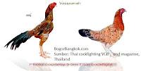 10 Ayam Jago Jenis Ayam Bangkok Thailand