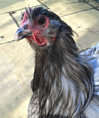 Hetty the Orpington hen