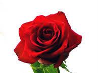 Bunga Mawar Merah Untuk Pacar