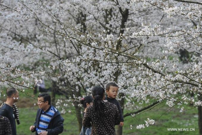Hòn đảo hoa anh đào 'đẹp rụng rời' ở Trung Quốc - Ảnh 9