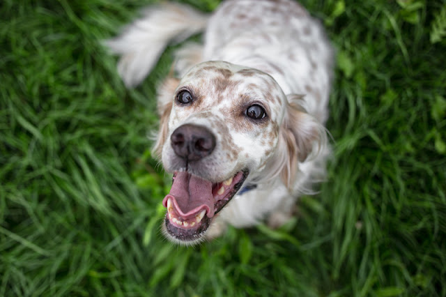 Reward-based training makes dogs happy. Photo shows a happy dog waiting for a reward
