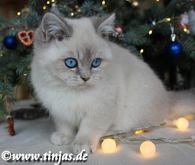 BKH Kitten 2016 Tinjas