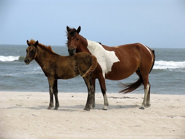 Wild Horses playing at white sand beach in Assateague Island