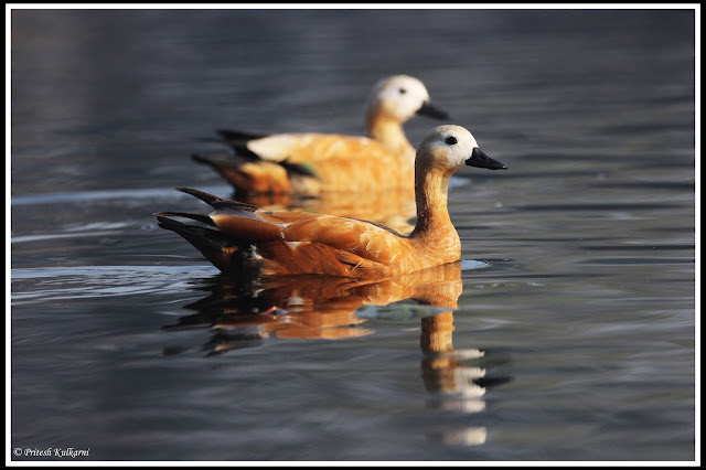 Ruddy Shelduck at Bharatpur