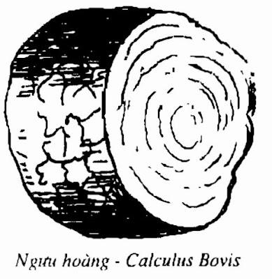 Hình vẽ NGƯU HOÀNG - Calculus Bovis - Nguyên liệu làm Thuốc Ngủ, An Thần, Trấn Kinh