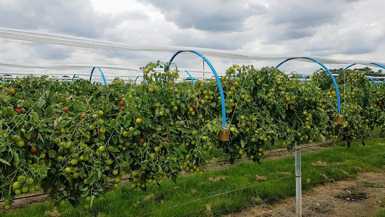 番茄採集區,尚未開放呢