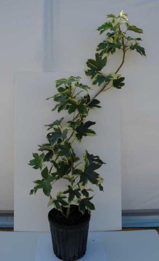 Fatshedera lizei Araliaceae plant image
