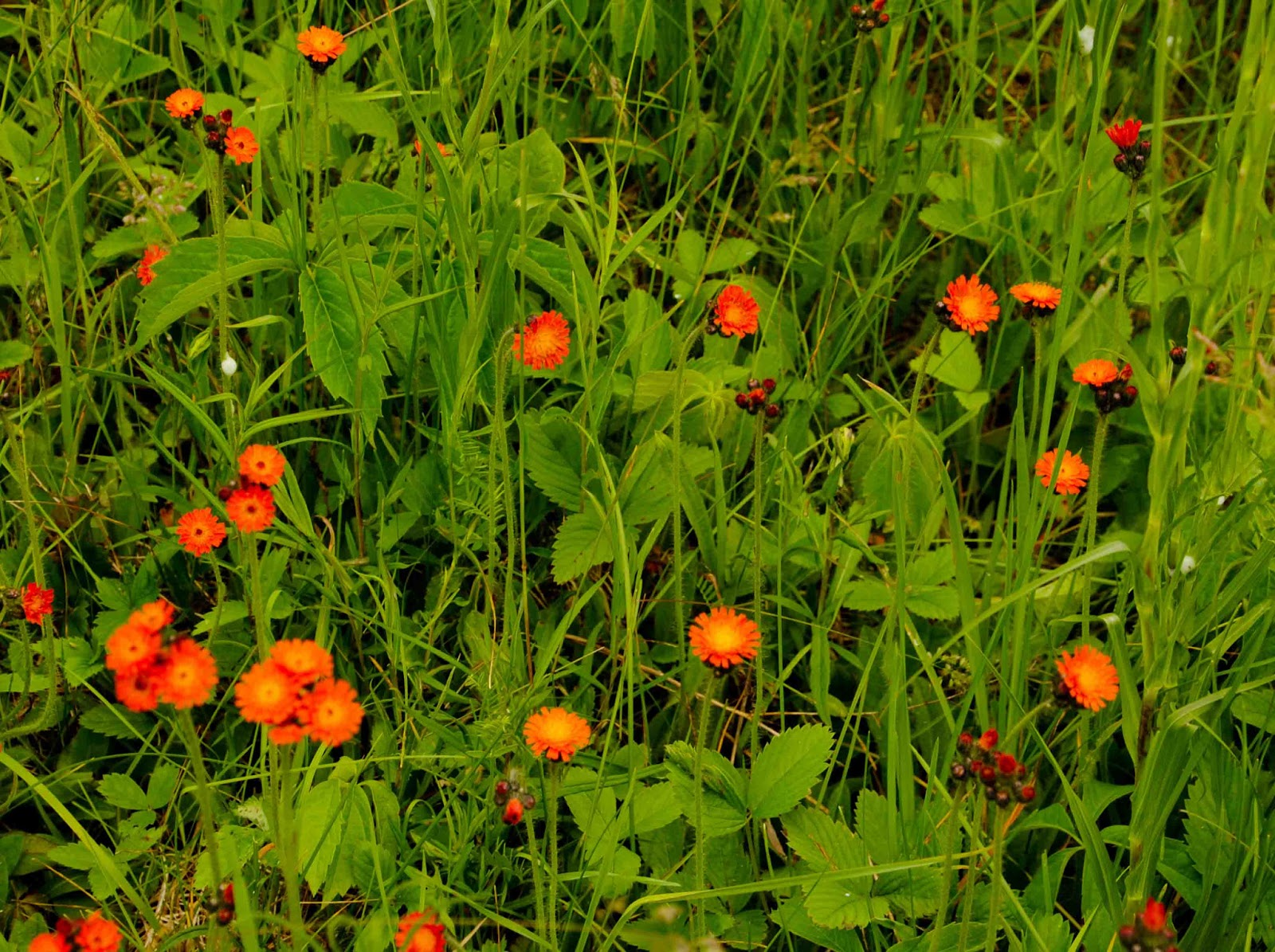 It Provides Bright Red Orange Flashes Among The Dominant Yellow Weeds Do I Really Dare Call These Wildflowers Rather Than