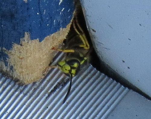 German Yellowjacket wasp