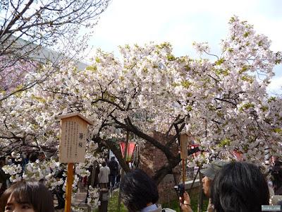 箒桜 衣笠