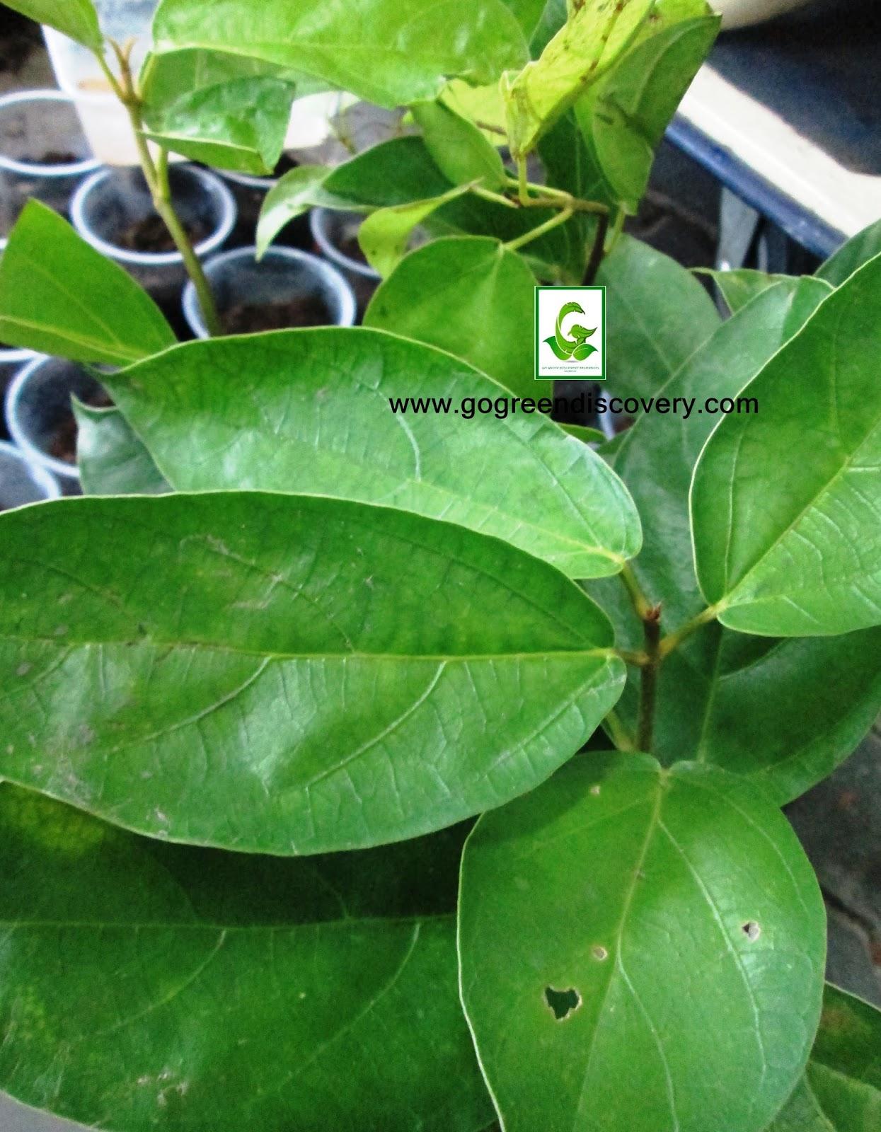 Seeds for sale online cuttings seedlings plants for for Plants for sale