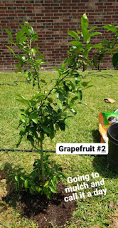 another grapefruit tree