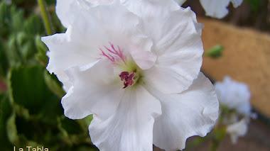 Pelargonium grandiflorum blanco pintado