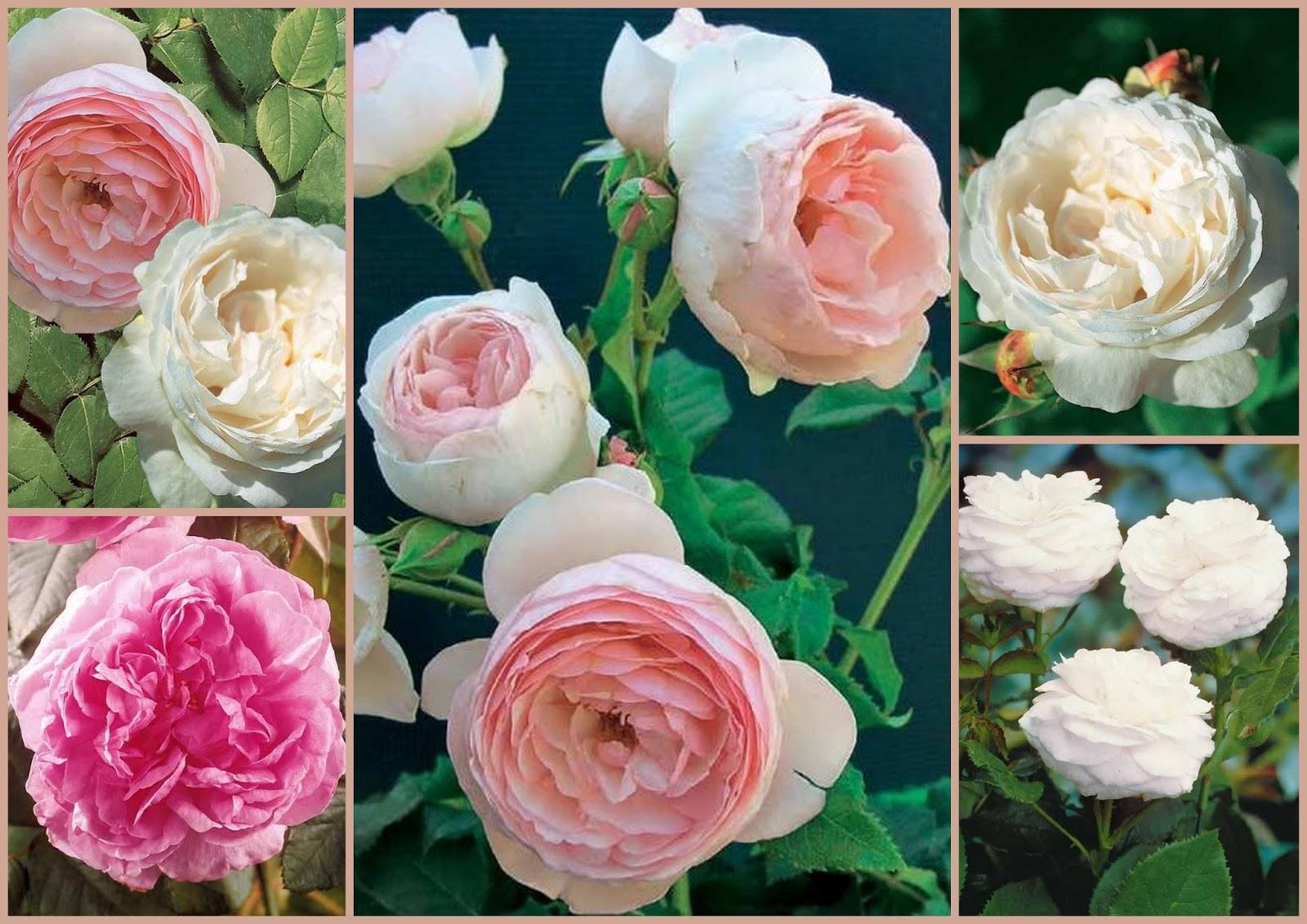 Promesse de roses commande de 4 rosiers chez willemse for Comdemande de catalogue gratuit