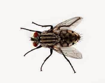 Cara Alami Mengusir Lalat di Rumah