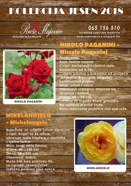 Crvena ruža Nikolo Paganini i žuta ruža Mikelanđelo