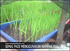 Semai padi dengan menggunakan nampan atau baki