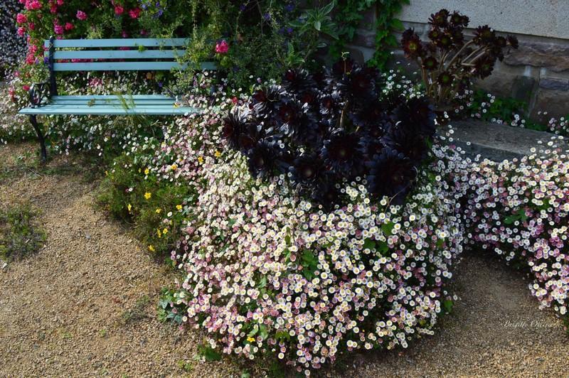 "Aeonium ""Schwarzkopf""  y Erigeron karvinskianus Jardín Babou"