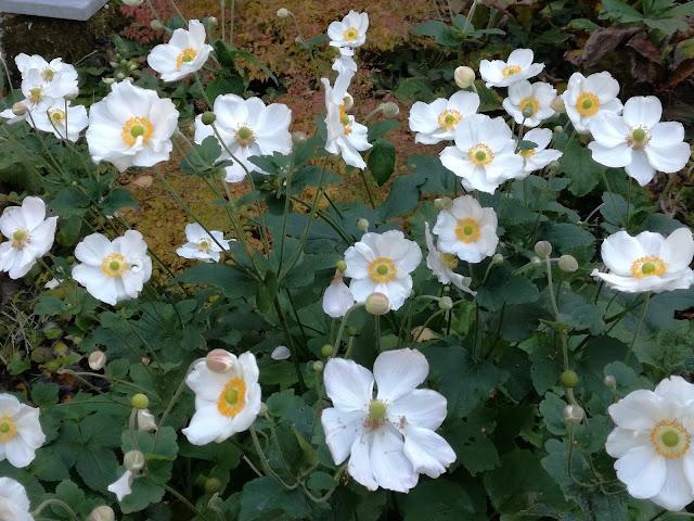 anemone Honorine Jobert