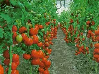 #Tomate (Lycopersicum esculentum)