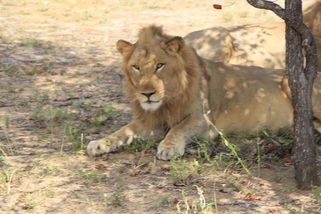 León, Safari Parque Kruger, Sudáfrica