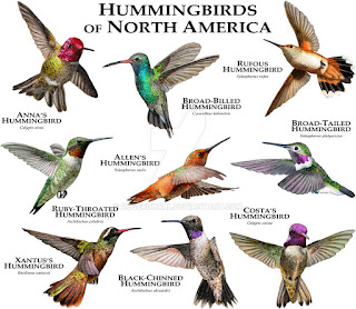 Only a fraction hummingbird species are found in the United States.