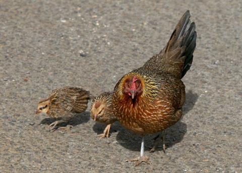 Ayam betina (Gallus gallus domesticus)