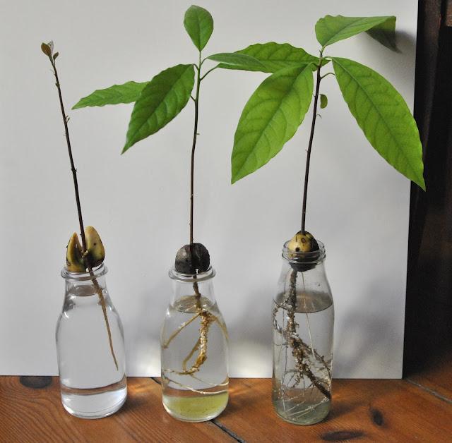 Avocadopflanzen aus Avocadokernen gezogen