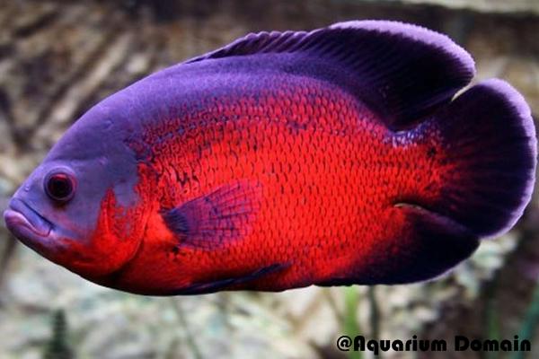 Ikan Oscar Jenis Red