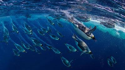 Emperor penguins in the Ross Sea, Antarctica