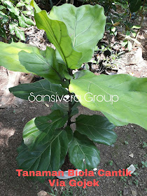 Tanaman Biola Cantik Ficus Lyrata